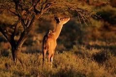 Antilope de alimentation de kudu Photographie stock