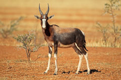 Antilope de Bontebok Photographie stock