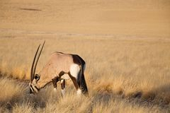 Antilope de Gemsbok Images libres de droits