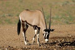 Antilope de Gemsbok Photos libres de droits