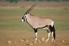 Antilope de Gemsbok Images libres de droits