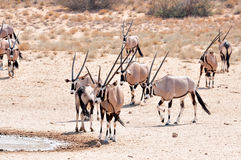 Antilope de Gemsbok (gazella d'Oryx) Images stock