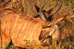 Antilope de Kudu Fotografía de archivo