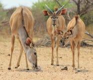 Antilope de Kudu - ventilateurs de sel Images libres de droits