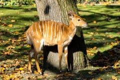 Antilope de Nyala - angasii de Tragelaphus Animal sauvage de la vie photos libres de droits