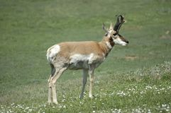 Antilope de Pronghorn Photos stock