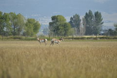 Antilope de Pronghorn images libres de droits