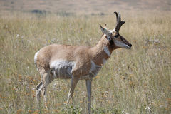 Antilope de Pronghorn Photographie stock libre de droits