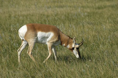Antilope de Pronghorn (Antilocapra americana) Photos stock