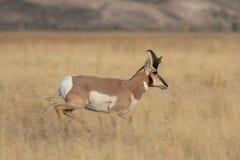 Antilope de Pronghorn Buck Running image stock