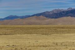Antilope de Pronghorn devant des dunes de sable photos libres de droits