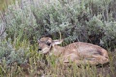 Antilope de Pronghorn nouveau-née de faon Photo libre de droits