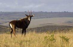 Antilope de sable Photographie stock