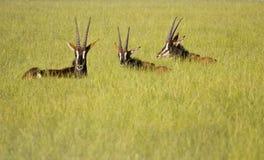 Antilope de sable dans l'herbe verte abondante Images stock