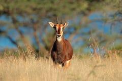 Antilope de sable dans l'herbe verte abondante image stock