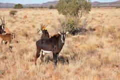 Antilope de sable dans l'herbe verte abondante Photographie stock libre de droits