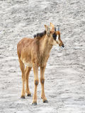 Antilope de sable (Hippotragus Niger) photo stock