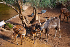 Antilope de Sitatunga Photographie stock