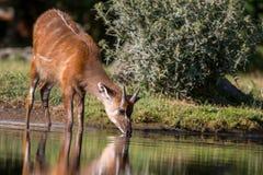 Antilope de Sitatunga buvant d'un étang Images stock