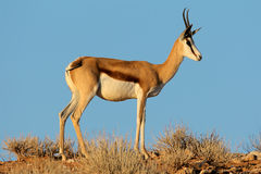 Antilope de springbok Image libre de droits