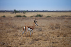 Antilope de springbok Photos stock