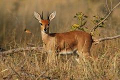 Antilope de Steenbok Photographie stock libre de droits
