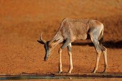 Antilope de Tsessebe à un point d'eau Photos libres de droits