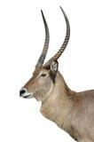 Antilope de Waterbuck d'isolement sur le blanc Photographie stock