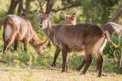 Antilope Defassa Waterbuck in Ngorongoro Lizenzfreie Stockfotos