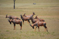 Antilope dei Topis sulle pianure Immagine Stock