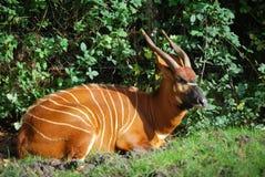 Antilope del bongo Fotografia Stock Libera da Diritti