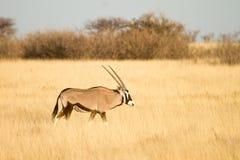 Antilope del Gemsbok Fotografie Stock Libere da Diritti