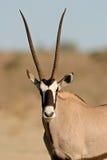 Antilope del Gemsbok Immagine Stock