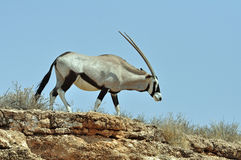 Antilope del Gemsbok (gazella del Oryx) Fotografia Stock Libera da Diritti