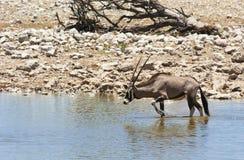 Antilope del Gemsbok (gazella del Oryx) Fotografie Stock Libere da Diritti