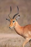Antilope del Impala, sosta di Kruger, Sudafrica Immagini Stock Libere da Diritti