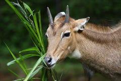 Antilope del Nilgai Fotografia Stock