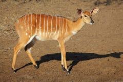 Antilope del Nyala Immagini Stock Libere da Diritti