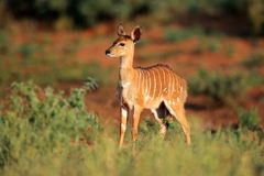 Antilope del Nyala Fotografie Stock