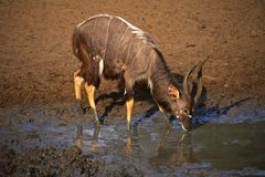 Antilope del Nyala Fotografia Stock Libera da Diritti