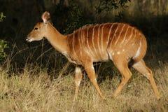 Antilope del Nyala, Sudafrica Fotografie Stock Libere da Diritti