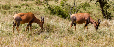Antilope del Topi Immagine Stock
