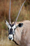 Antilope dell'Africano del Gemsbok Immagini Stock Libere da Diritti