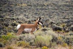 Antilope dell'americano del ` di Pronghorn immagini stock