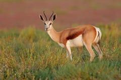 Antilope dell'antilope saltante Fotografia Stock