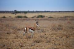 Antilope dell'antilope saltante Fotografie Stock