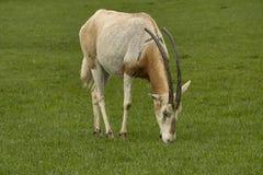 Antilope dell'orice Immagine Stock