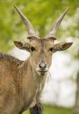 Antilope dello gnu Fotografie Stock Libere da Diritti