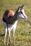 Antilope dello Springbuck Fotografia Stock