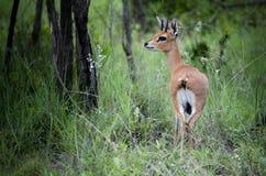 Antilope dello Steenbok Fotografia Stock